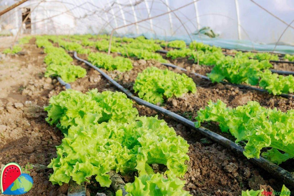 Капельный полив овощных культур