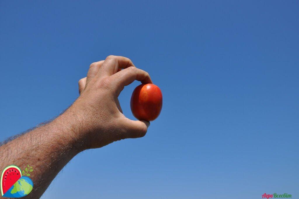 Капельное орошение томатов